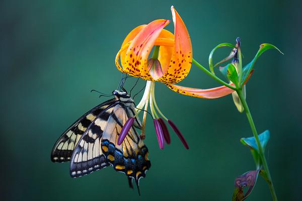 Turk's Cap Swallowtail
