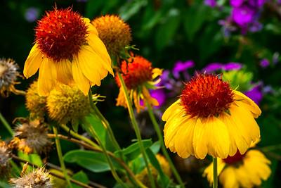 Wild Flower, Blanket Flowers