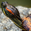 Mud Turtle pops out of the shell
