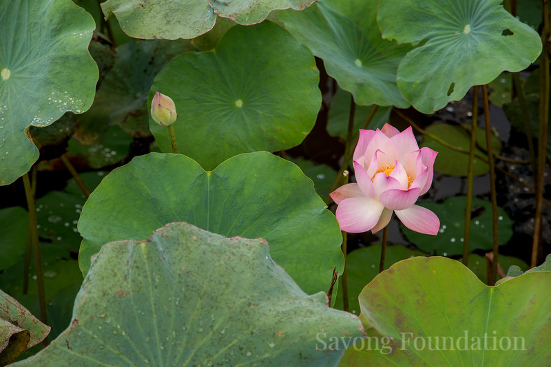 A Lotus in Bloom
