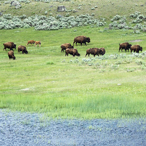 Bison herd in Yellowstone NP