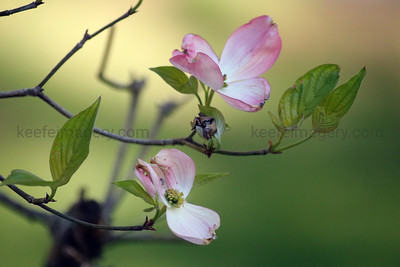Pink Flowering Dogwood (Cornus florida var. rubra)