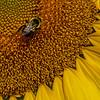 A Bee On A Sunflower 8/14/21