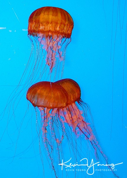 Jellyfish - Version 2