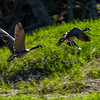Geese Take Off 2