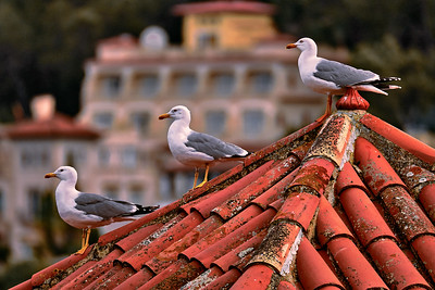 Seagulls (Larus michahellis)