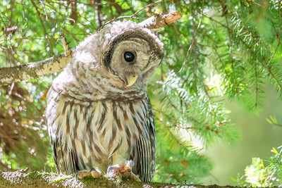 Young Barred Owl Looking at Hikers on the Trail