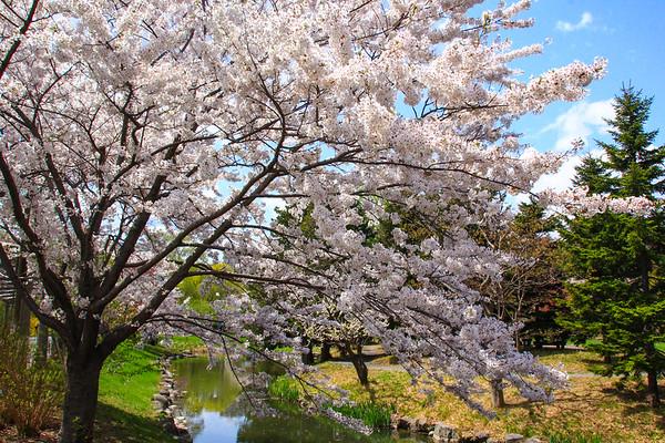 Cherry Blossoms in May, Nakajima Park, Sapporo