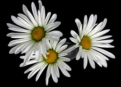 Three Daisies