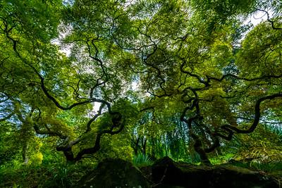 Japanese Maple Trees 8/9/19