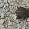 A few weeks ago I observed a Painted Turtle laying her eggs in a sandy location in a  small park near a pond.<br /> <br /> Yesterday while out shooting with a photographer friend and my husband, my husband found this tiny baby painted turtle on our walking path at a different park that borders a lake.