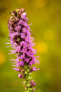 Prairie Blazing Star.  Photo by Kyle Spradley | © Kyle Spradley Photography | www.kspradleyphoto.com