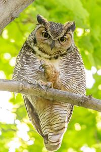 Great Horned Owl Grooming