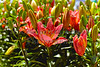 Pink Asiatic Lilies in a Cluster