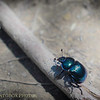 Dor Beetle from Above