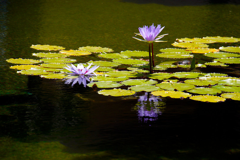 Water Lilies Balboa Park