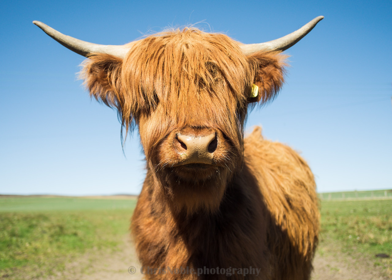 Curious Highland Cattle