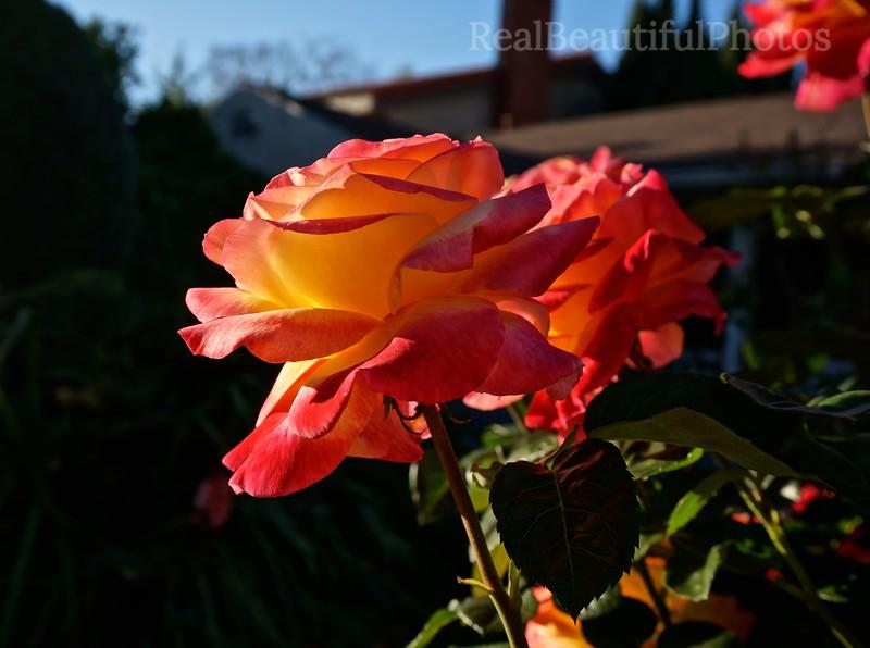 Frontyard Roses