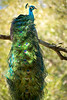 """ETC-3312-WPP1549  """"Majestic Peacock"""""""