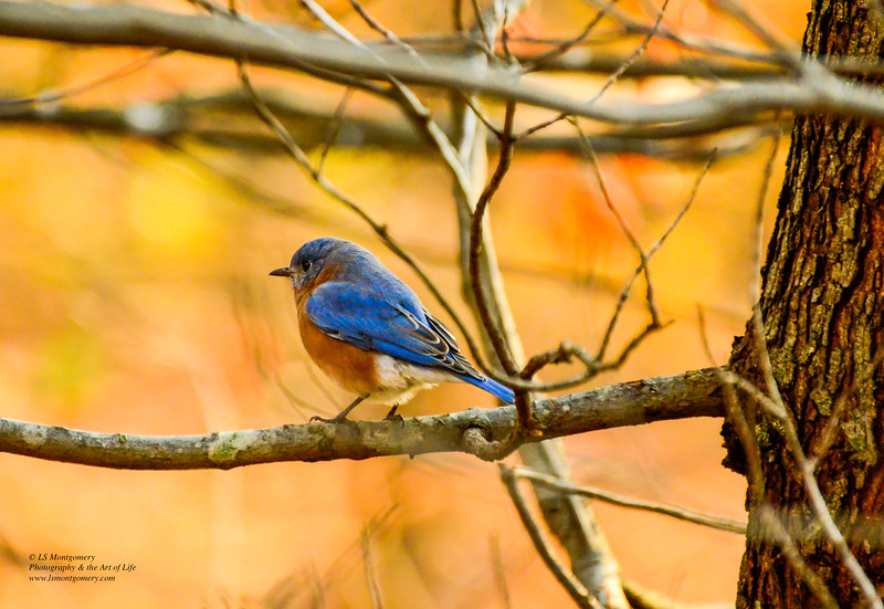 Carolina Blue Bird