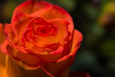 124/366 - Rose