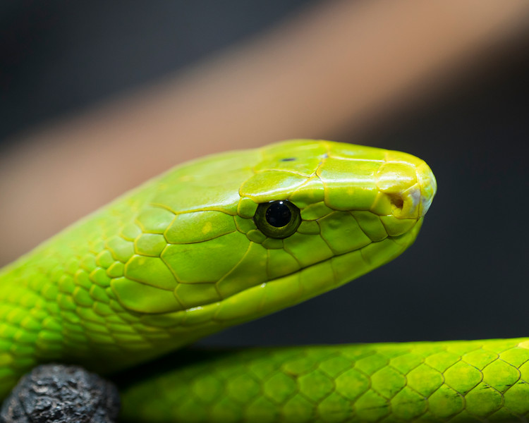Eastern Green Mamba 01