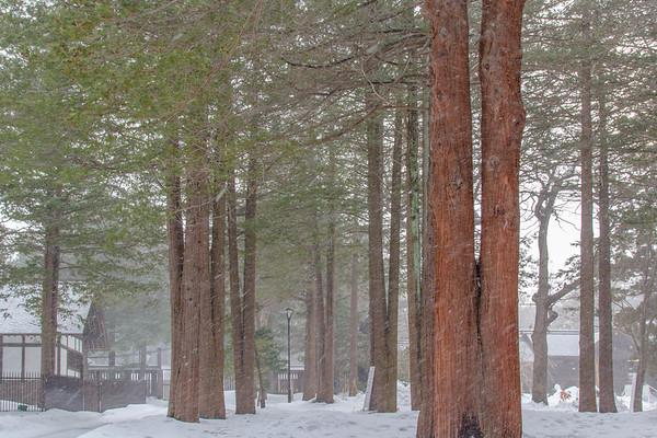 Sawara cypress (Sawara Japanese) Trees, Hokkaido Shrine
