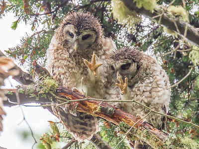 Barred Owl Fledglings Showing Mama They Washed Their Hands