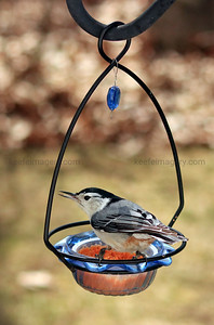 Adult White-breasted Nuthatch