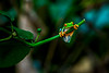 Red eyed Tree Frog near La Fortuna, Costa Rica