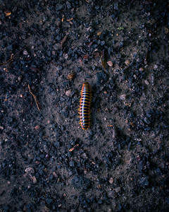 Millipede On The Move