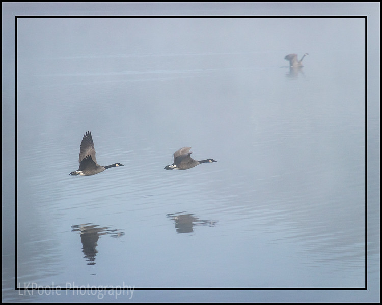Three Geese in the Fog