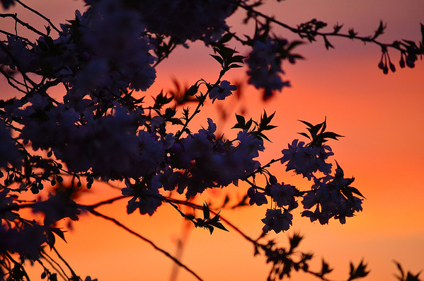 Sunset behind a Cherry Tree.