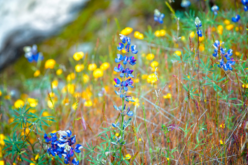 Lupins - Table Mountain-12