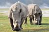 White Rhinos, Nakuru