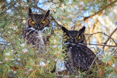 Pair of Great-horned Owls