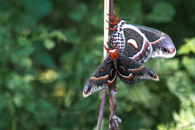 Cecropia Moths