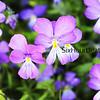 Sea of Violas