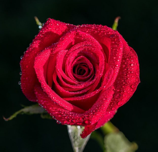 Red Rose with Morning Dew 4/23/17
