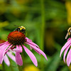 Bumblebees gather pollen from a purple coneflower.  Photo by Kyle Spradley | © Kyle Spradley Photography | www.kspradleyphoto.com