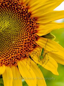 Sunflower with green lynx spider