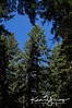 Blue Sky through the Pines
