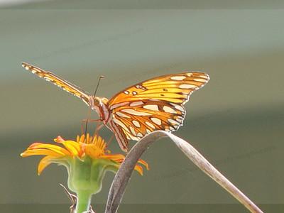 Austin butterfly