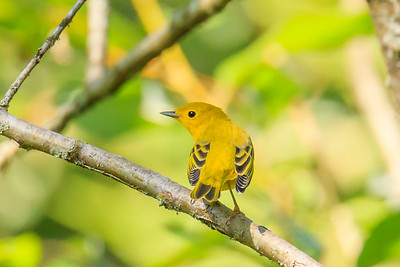 Yellow Warbler Ready to Fly