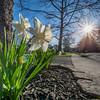 Daffodils in Morning Sun 4/21/16