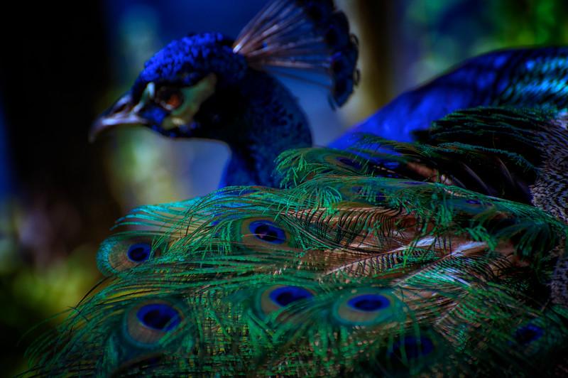 "ETC-3201  ""Peacock in Blue"""