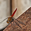 Dragon Fly at Rest