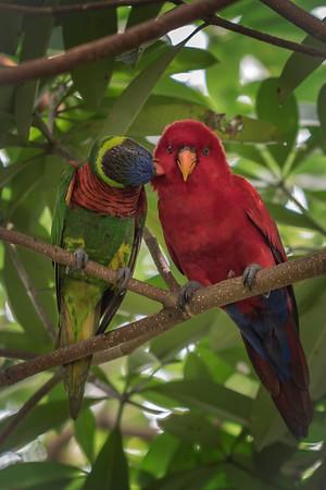 Birds - Lories
