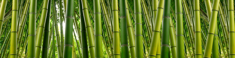Dense and lush Bamboo jungle