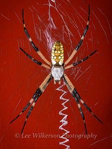 Garden Spider with Red Door